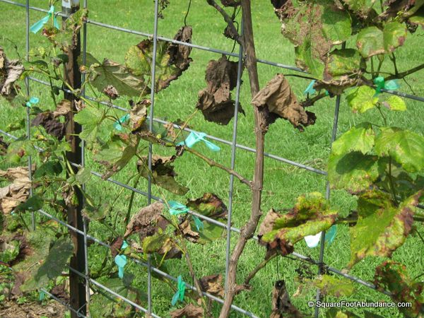 Diseased grape vine