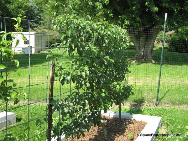 Pruned pear tree