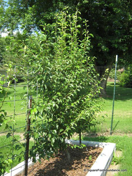 Unpruned pear tree