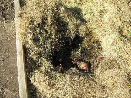 Beets & carrots under winter mulch