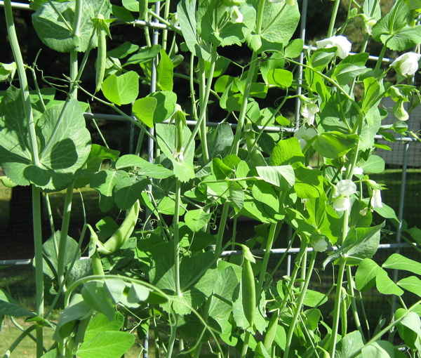 Image of fall peas in September