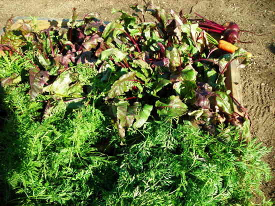 Carrots and beets in square foot bed