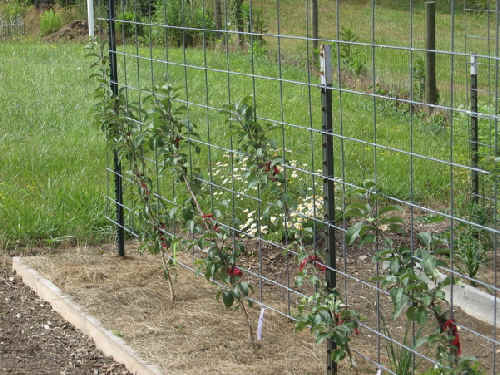 Mini dwarf apple trees on trellis