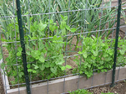 Snap peas on trellis