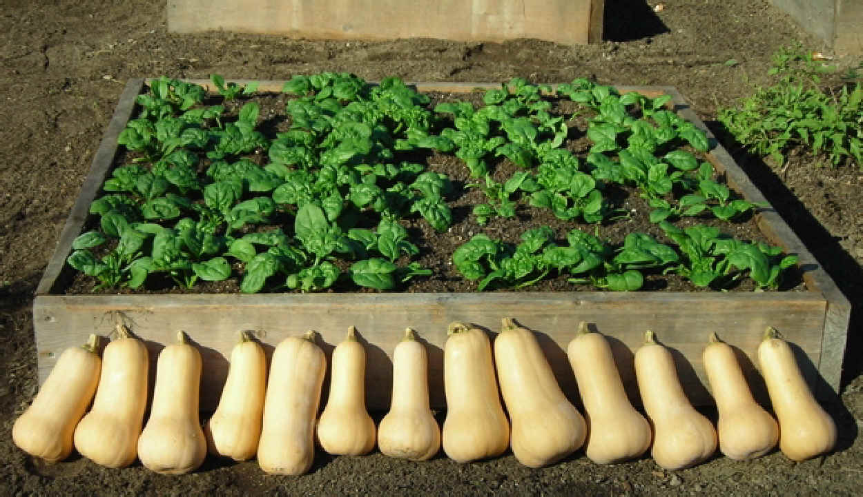 Squash & spinach from one bed