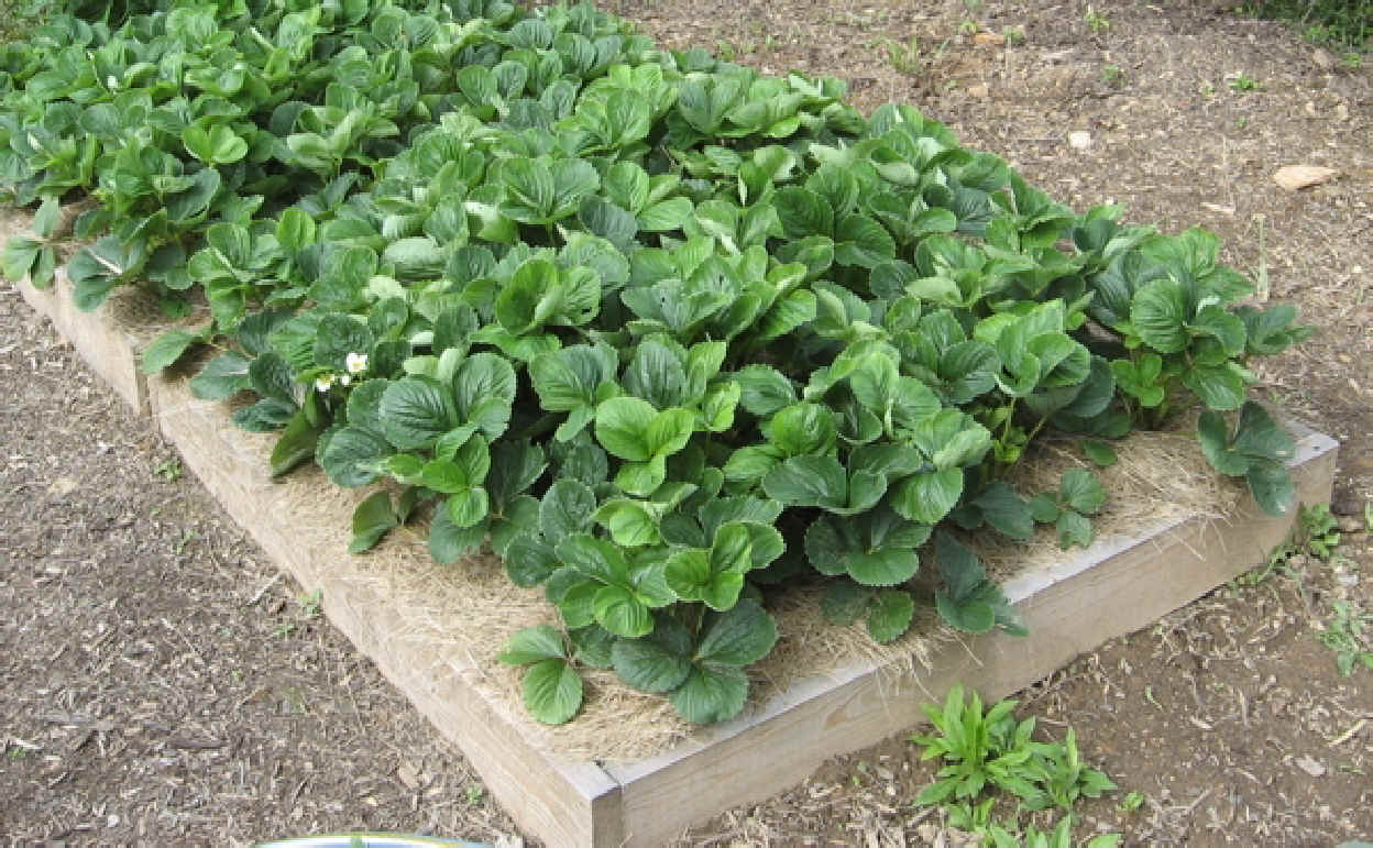 Strawberry plants in raised garden bed