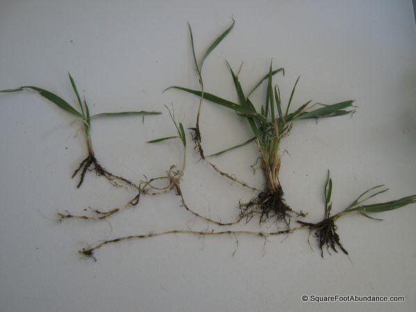 Quack grass roots