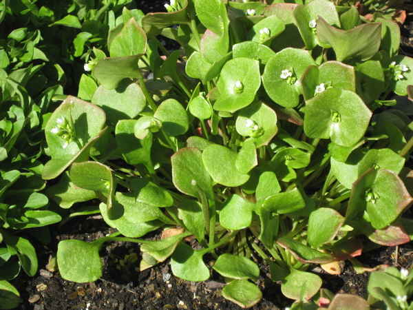 Claytonia in cold frame image