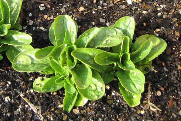 Young corn salad plants image