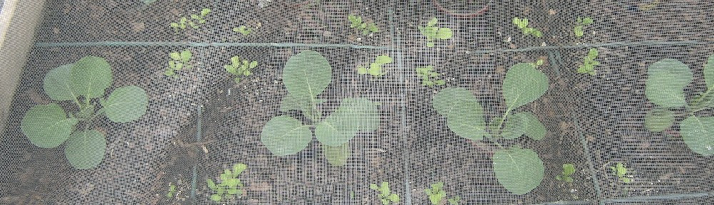 Early miniature cabbage and lettuce under screening