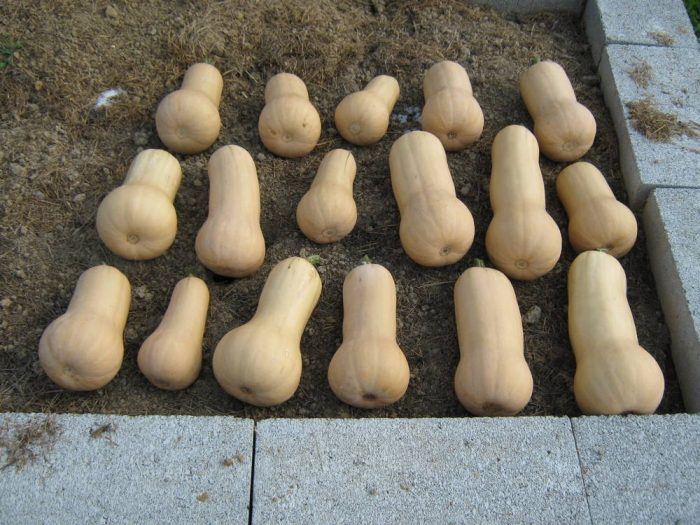 Butternut squash from trellis