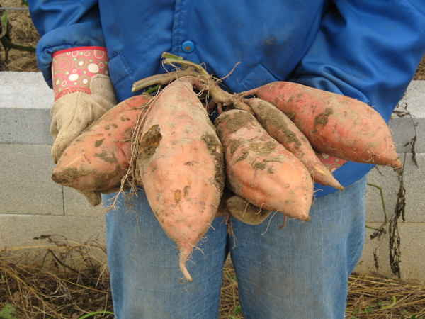 Very large sweet potatoes from a variety called Covington.