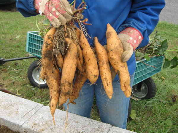 Thinner tubers of the Vardaman variety of sweet potatoes.