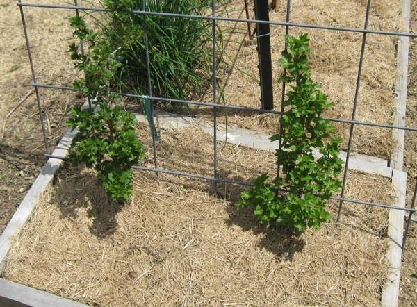 Two gooseberry bushes in tiny area