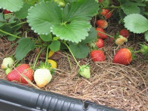 Ripe strawberries growing in containers