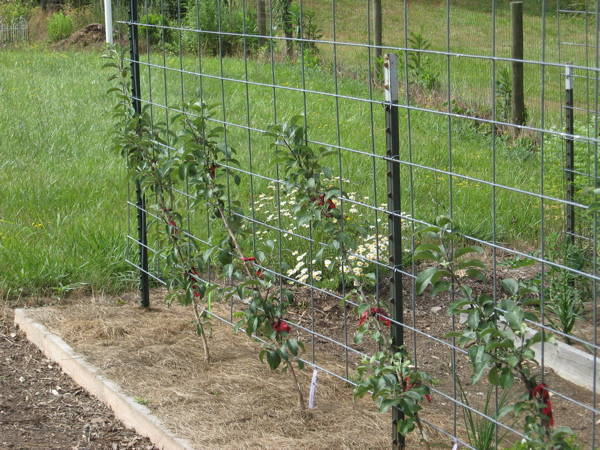 Min-dwarf apple trees as single cordons