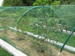 Ripe blueberries under netting