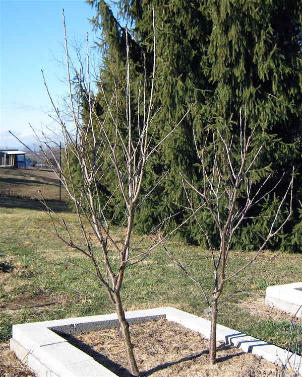 comparing vigor between cherry tree varieties