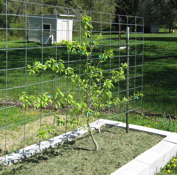Pear tree as informal espalier