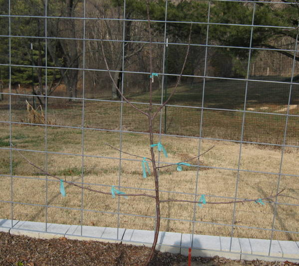 Young apple tree for formal espalier