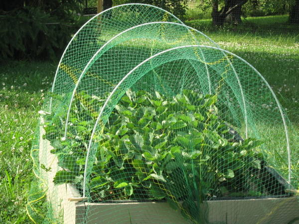 Bird netting covering strawberries in square foot garden bed