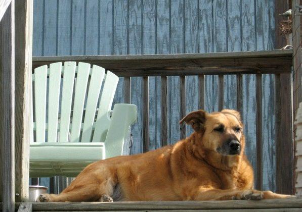 Dog guarding garden against wildlife