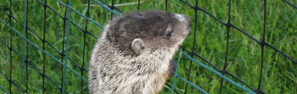 Groundhog climbing fence