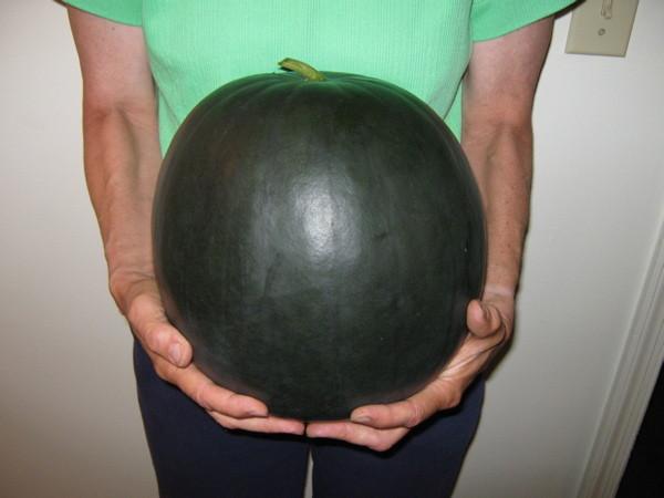 17-pound watermelon grown on trellis