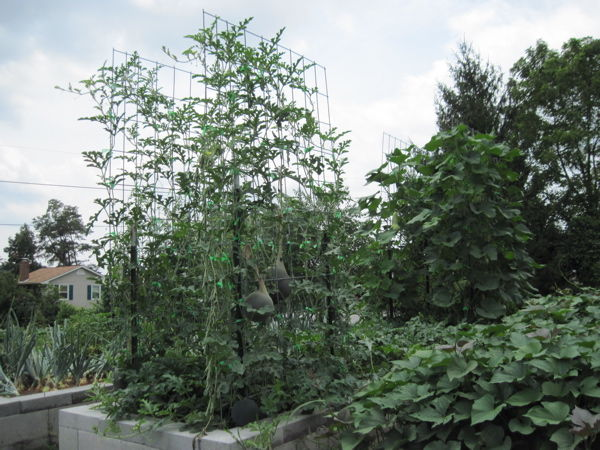 Trellises supporting watermelon and squash