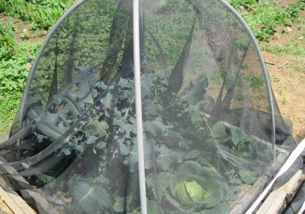 Nylon window screening draped over garden bed
