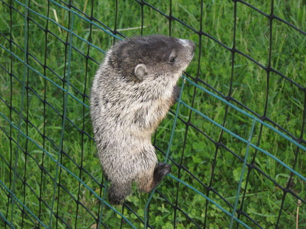 Young groundhog climbing fence