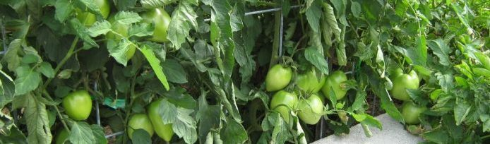 Photo of trellised tomatoes