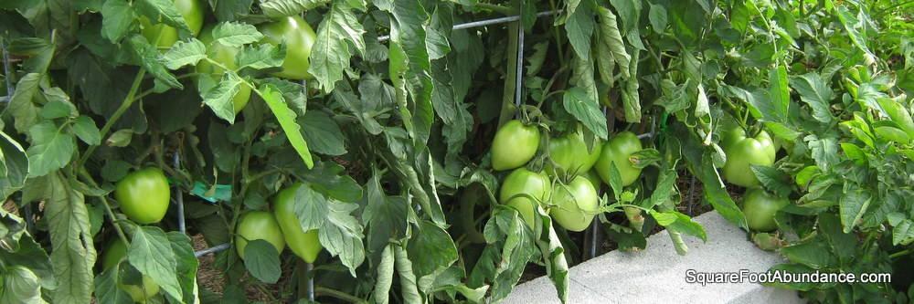 Training And Pruning Trellised Vegetables Abundant Mini