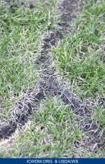 Surface runways by voles