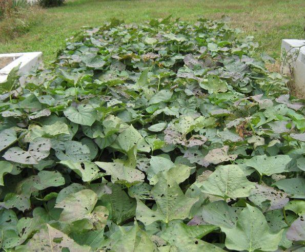 Sweet potato plants in September