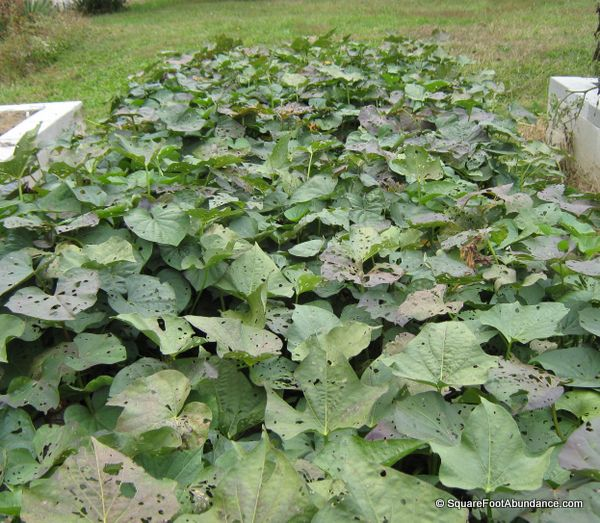 Sweet potato plants in September