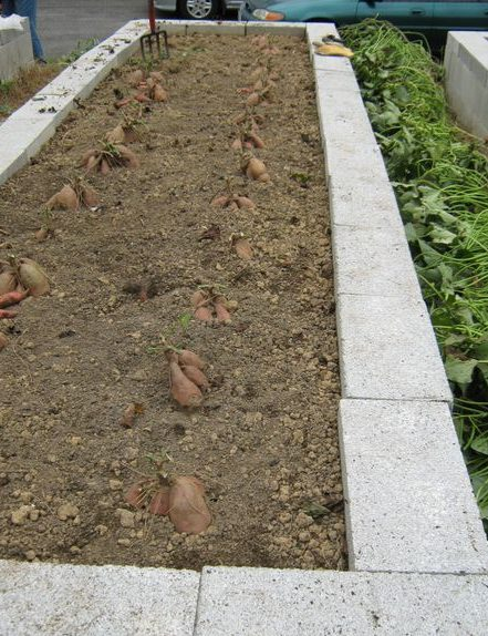 Sweet potatoes ready to dig up