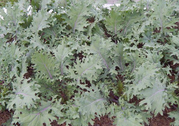 Large kale plants