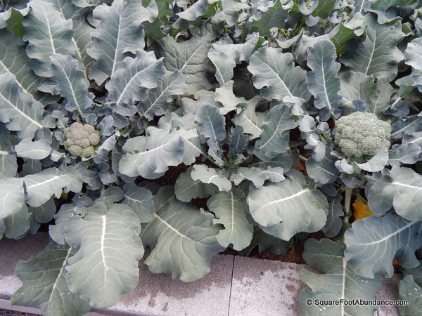 Stunted broccoli plant