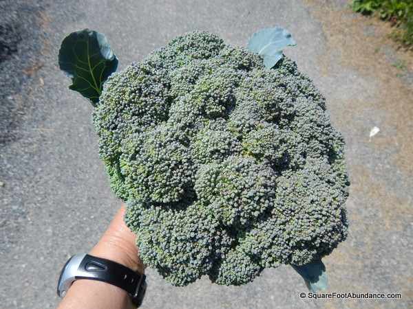 Very large head of broccoli