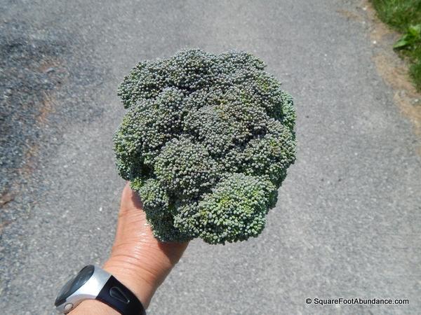 Medium head of broccoli