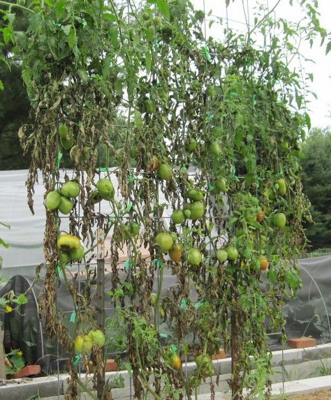 Tomatoes dying from late blight