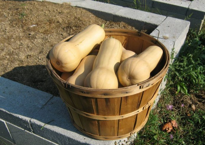 How To Harvest And Store Winter Squash Abundant Mini Gardens