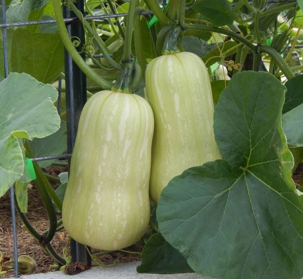 green butternut squash