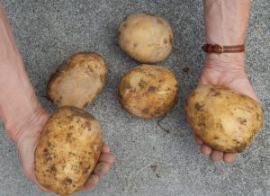These are a few lunker (extra large) Yukon Gold potatoes that we harvested in August. It's important to handle your freshly harvested potatoes gently.