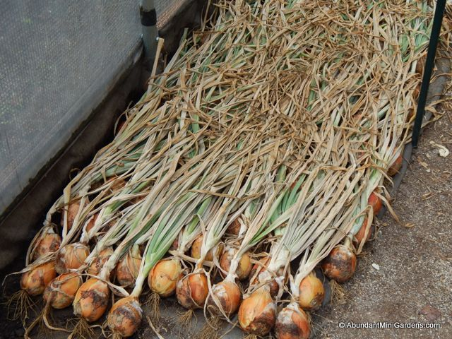 Curing onions under a shade cloth in hot weather