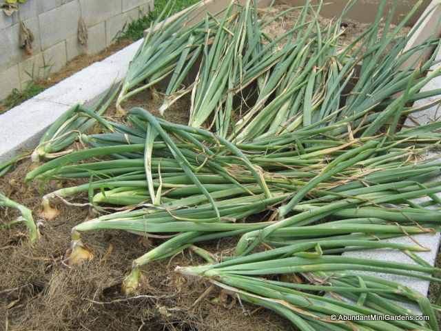 mature onions that are ready to harvest