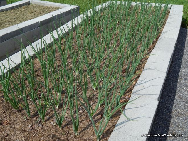 young onion plants growing in a garden bed