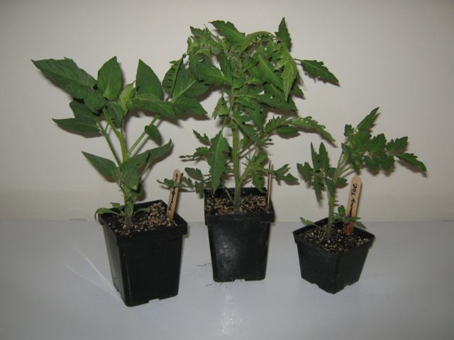 Tomato seedlings grew larger in larger pots