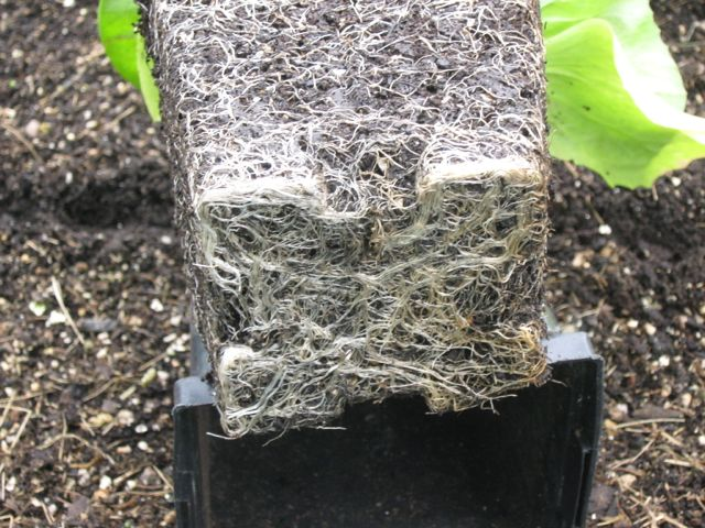 A root pound plant